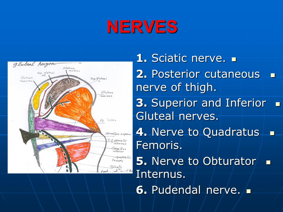 NERVES 1. Sciatic nerve. 1. Sciatic nerve. 2. Posterior cutaneous nerve of thigh. 2. Posterior cutaneous nerve of thigh. 3. Superior and Inferior Glut