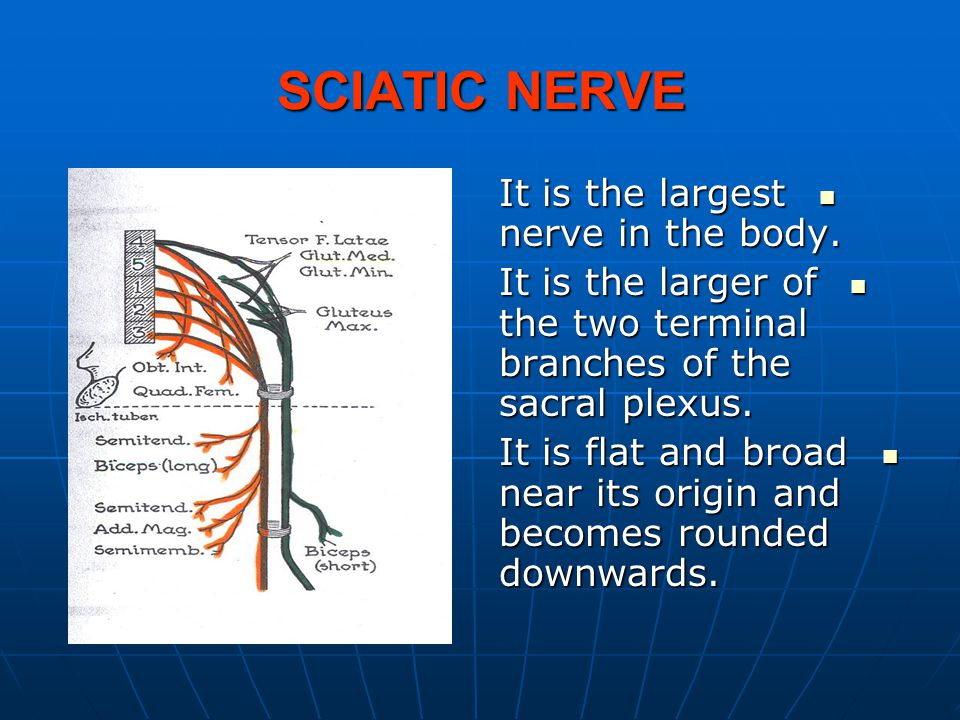 SCIATIC NERVE It is the largest nerve in the body. It is the largest nerve in the body. It is the larger of the two terminal branches of the sacral pl