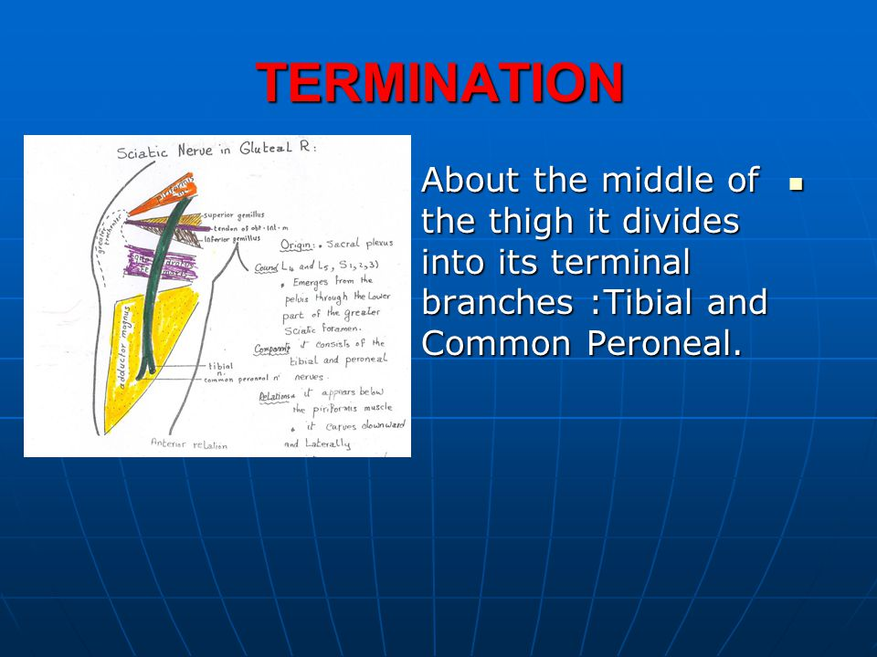TERMINATION About the middle of the thigh it divides into its terminal branches :Tibial and Common Peroneal. About the middle of the thigh it divides
