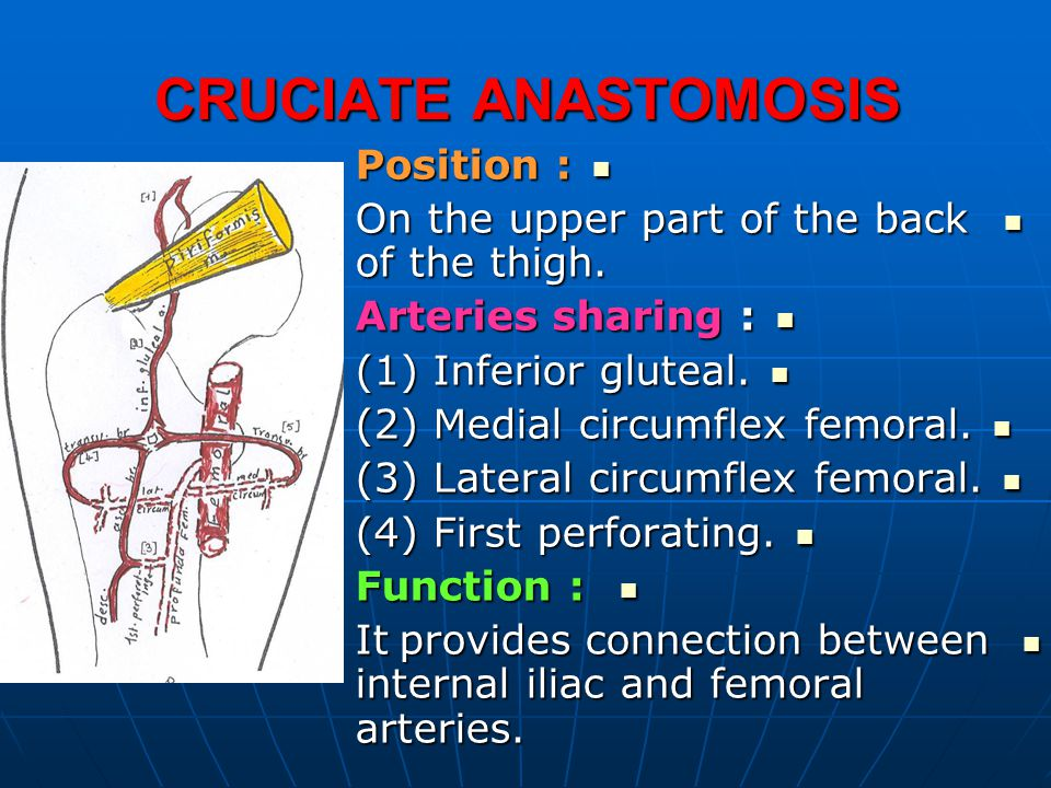CRUCIATE ANASTOMOSIS Position : Position : On the upper part of the back of the thigh. On the upper part of the back of the thigh. Arteries sharing :