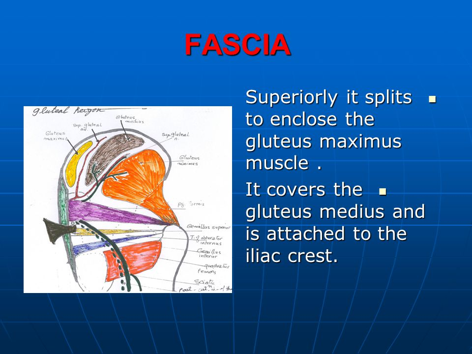 SUPERIOR GLUTEAL NERVE BRANCHES BRANCHES It gives motor supply to: It gives motor supply to: 1.