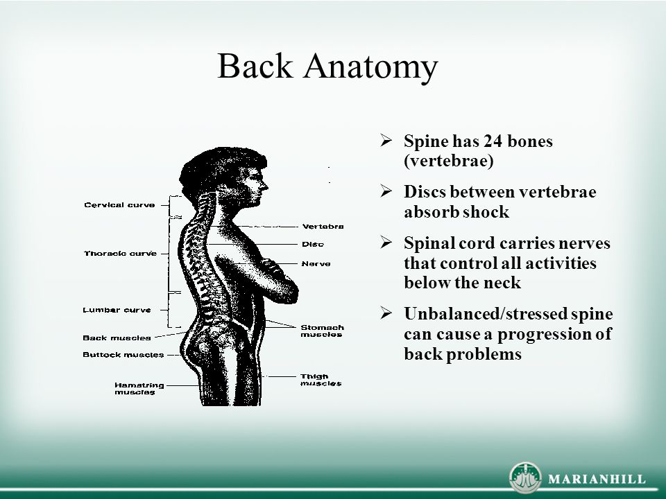 Back Anatomy  Spine has 24 bones (vertebrae)  Discs between vertebrae absorb shock  Spinal cord carries nerves that control all activities below the neck  Unbalanced/stressed spine can cause a progression of back problems