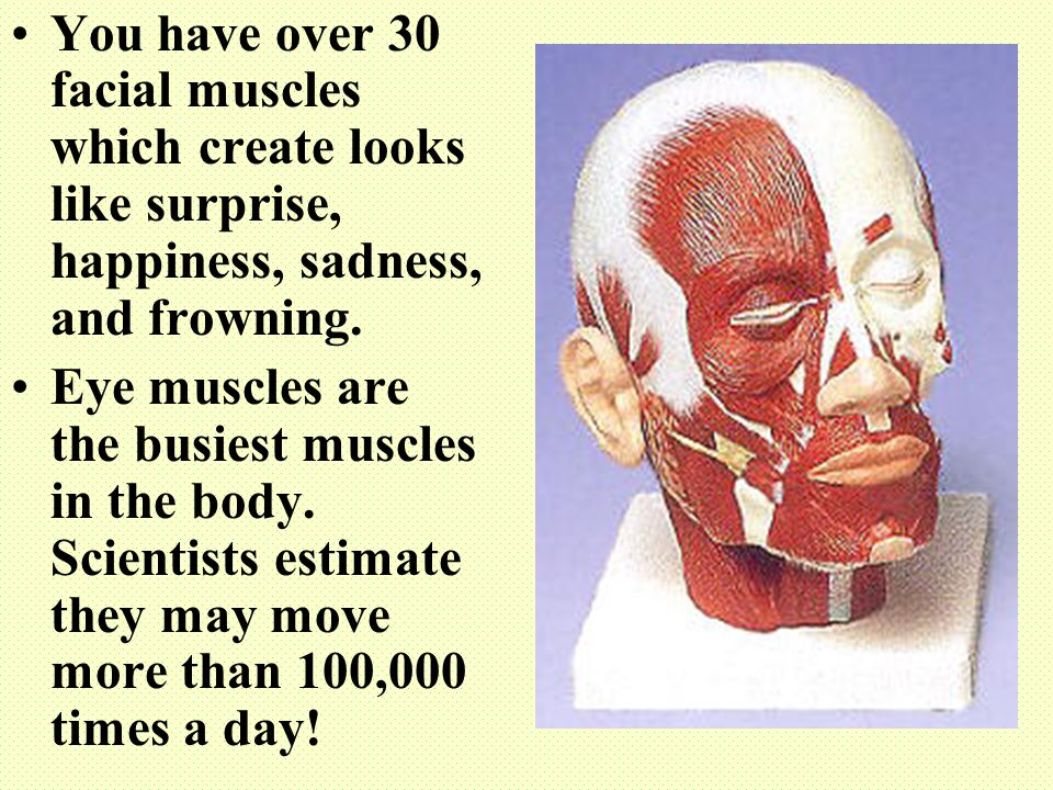 You have over 30 facial muscles which create looks like surprise, happiness, sadness, and frowning. Eye muscles are the busiest muscles in the body. S