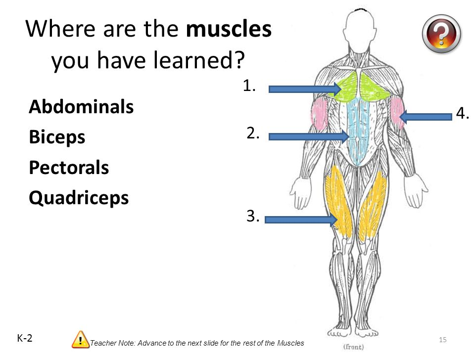 Muscles Your triceps muscle is in the back of your upper arm. It helps you straighten your elbow and rotate your arm. Biceps Your biceps muscle is in