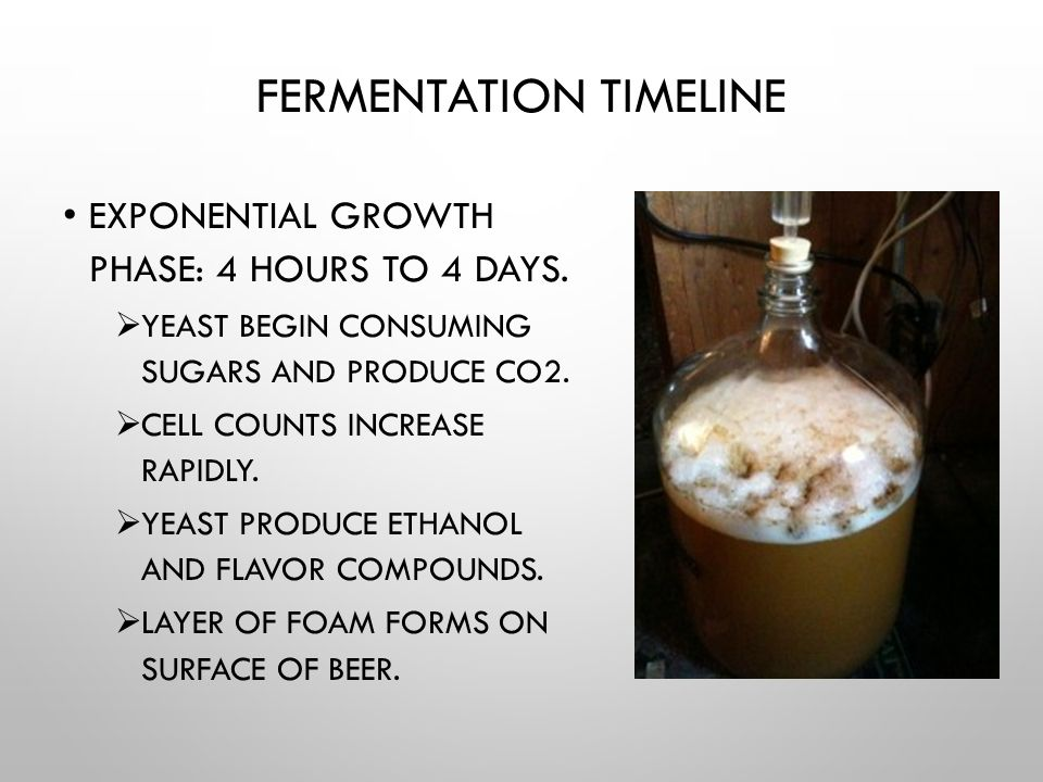 FERMENTATION TIMELINE EXPONENTIAL GROWTH PHASE: 4 HOURS TO 4 DAYS.  YEAST BEGIN CONSUMING SUGARS AND PRODUCE CO2.  CELL COUNTS INCREASE RAPIDLY.  Y