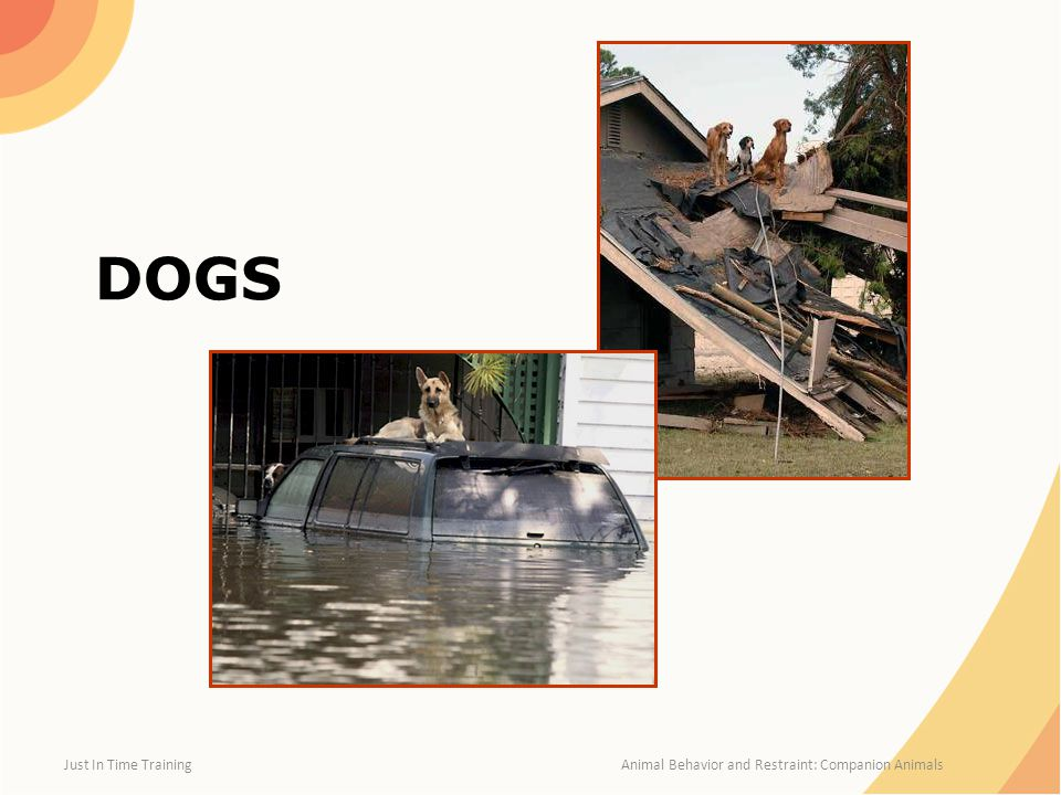 Dog Body Language: Playful and Attentive Just In Time Training Animal Behavior and Restraint: Companion Animals Playful Alert and Attentive Graphic illustrations from FEMA CERT Animal Response Module I and II
