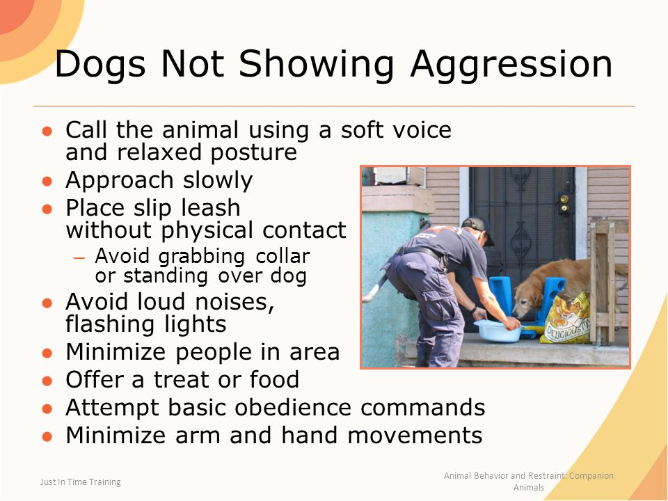Frightened or Aggressive Dogs ●Best approached by experienced dog handler ●Two or more people ●Move slowly ●Avoid direct eye contact ●Stand sideways ●Calm, quiet voice – If possible, get the dog to come to you Just In Time Training Animal Behavior and Restraint: Companion Animals