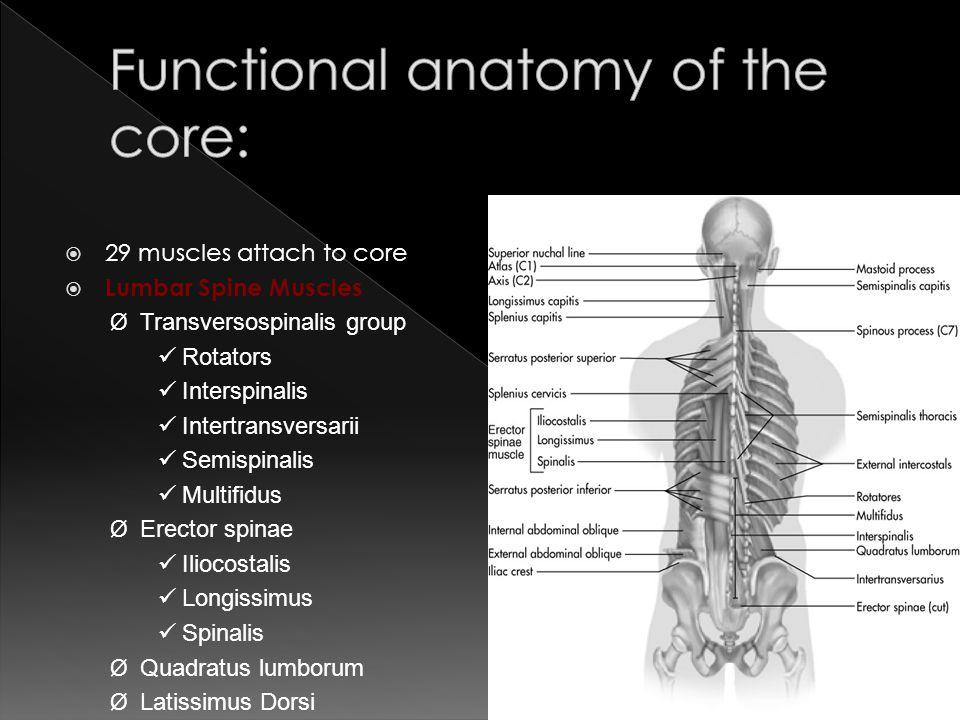  29 muscles attach to core  Lumbar Spine Muscles Ø Transversospinalis group Rotators Interspinalis Intertransversarii Semispinalis Multifidus Ø Erec