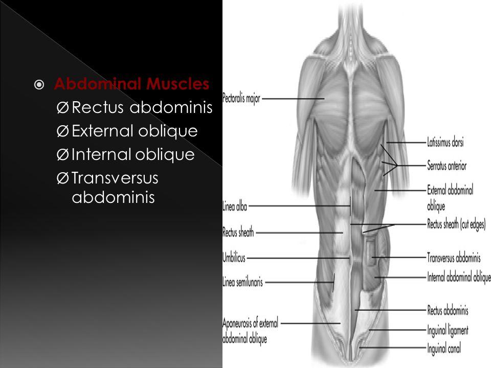  Abdominal Muscles Ø Rectus abdominis Ø External oblique Ø Internal oblique Ø Transversus abdominis