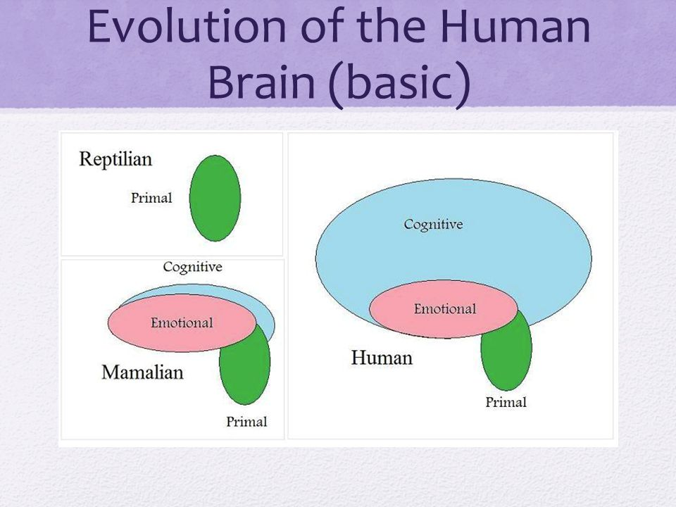 Evolution of the Human Brain (basic)