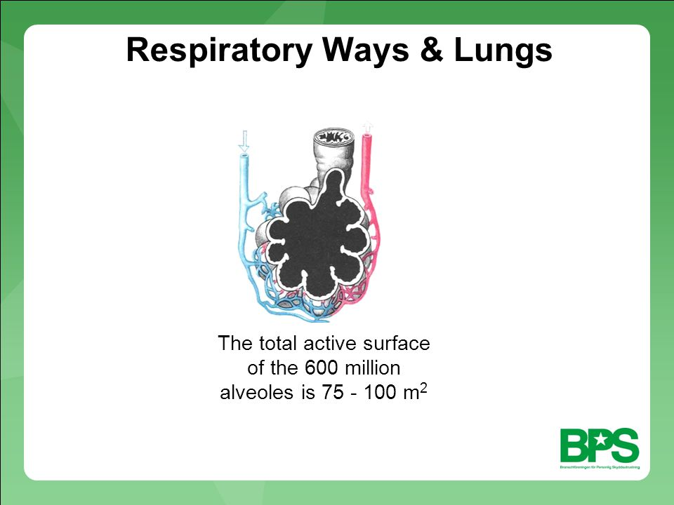 Respiratory Ways & Lungs The total active surface of the 600 million alveoles is 75 - 100 m 2