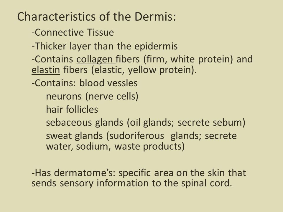 Characteristics of the Dermis: -Connective Tissue -Thicker layer than the epidermis -Contains collagen fibers (firm, white protein) and elastin fibers