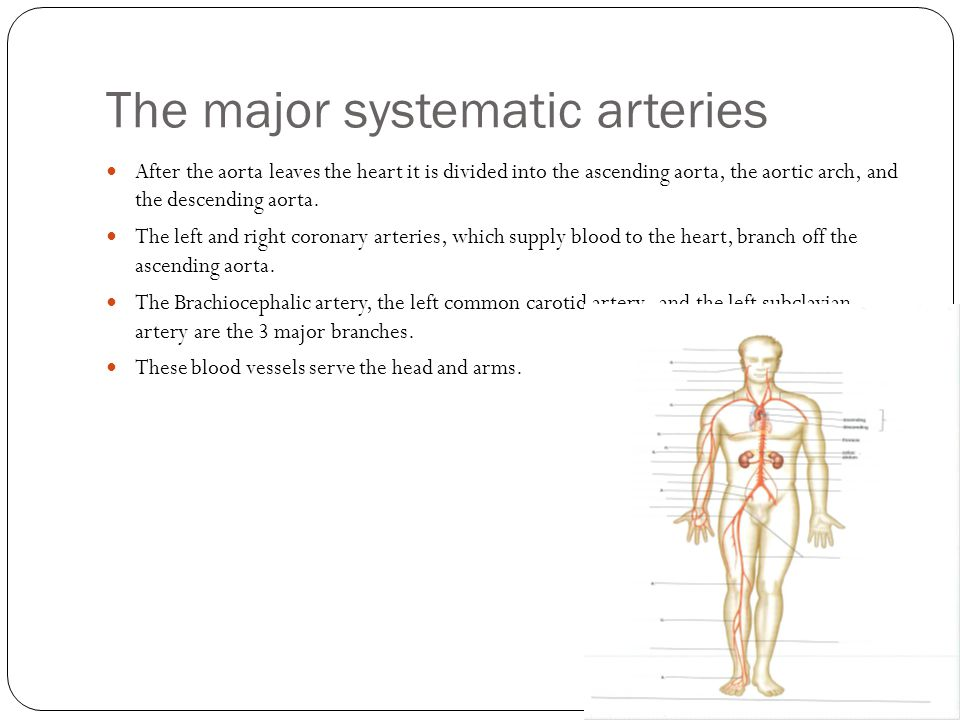 The major systematic arteries After the aorta leaves the heart it is divided into the ascending aorta, the aortic arch, and the descending aorta. The