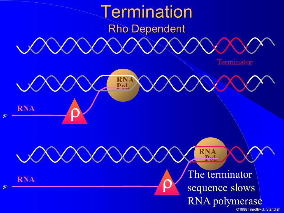 ©1998 Timothy G. Standish RNA Pol. 5' RNA Termination Rho Dependent Terminator  RNA Pol. 5' RNA  The terminator sequence slows RNA polymerase