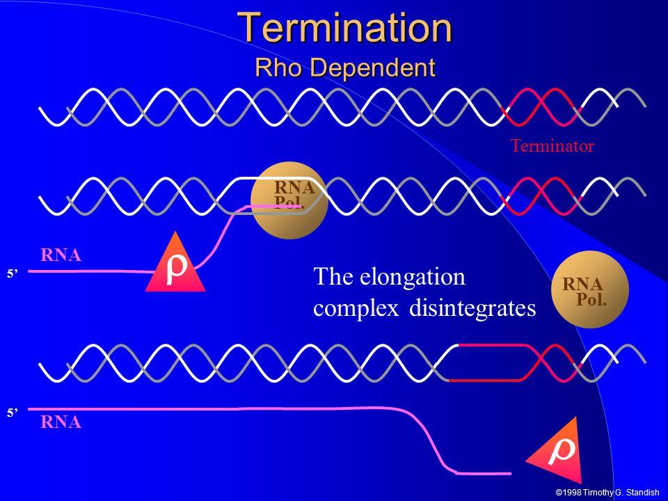 ©1998 Timothy G. Standish RNA Pol. 5' RNA Termination Rho Dependent Terminator  RNA Pol. 5' RNA  The elongation complex disintegrates