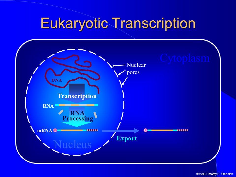 ©1998 Timothy G. Standish DNA Cytoplasm Nucleus Eukaryotic Transcription Export G AAAAAA RNA Transcription Nuclear pores G AAAAAA RNA Processing mRNA
