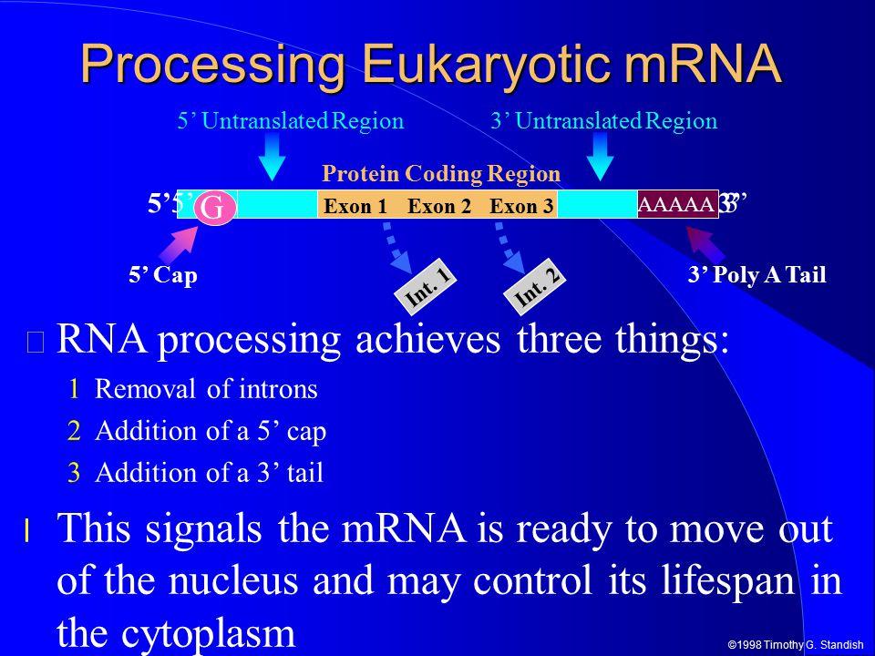 ©1998 Timothy G. Standish 3'5' Exon 2Exon 3 Int. 2 Exon 1 Int. 1 Processing Eukaryotic mRNA Protein Coding Region 3' Untranslated Region5' Untranslate