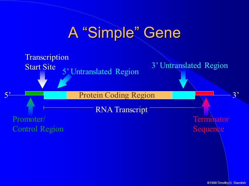 "©1998 Timothy G. Standish 5'3' RNA Transcript A ""Simple"" Gene Protein Coding Region Terminator Sequence Promoter/ Control Region 3' Untranslated Regio"