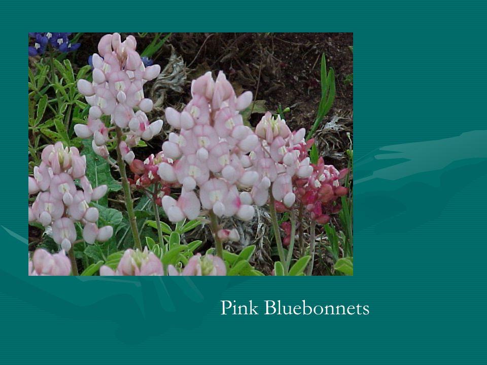 Pink Bluebonnets