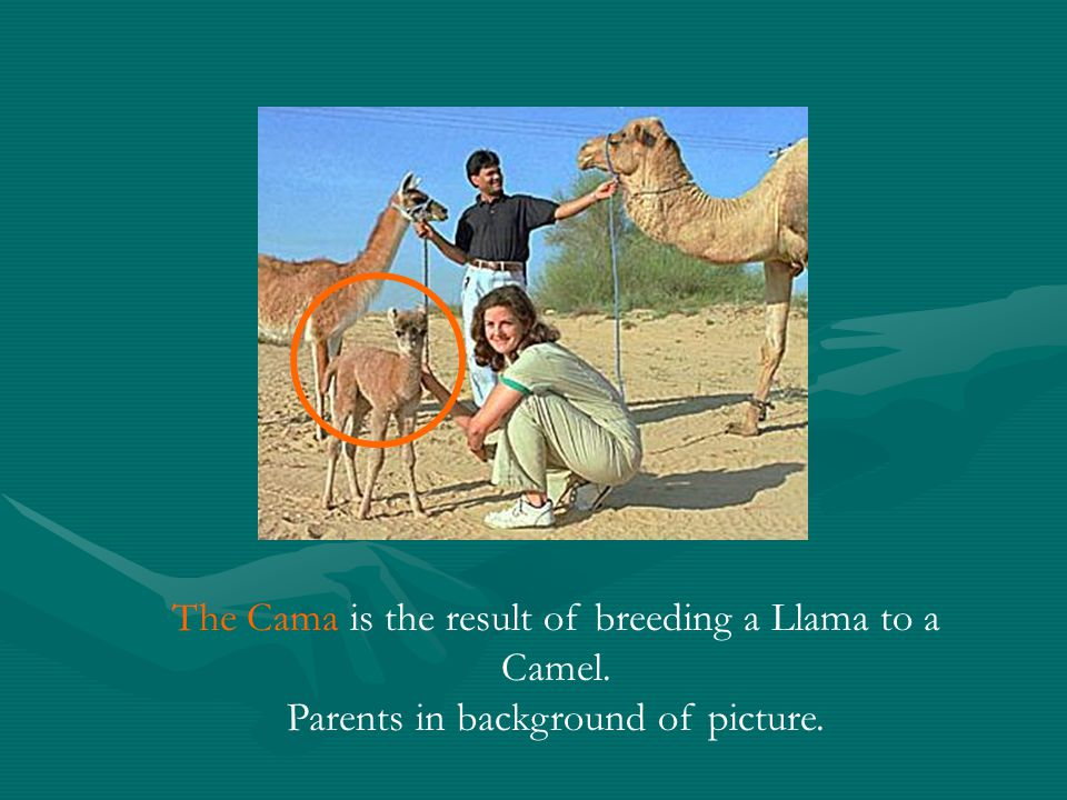 The Cama is the result of breeding a Llama to a Camel. Parents in background of picture.