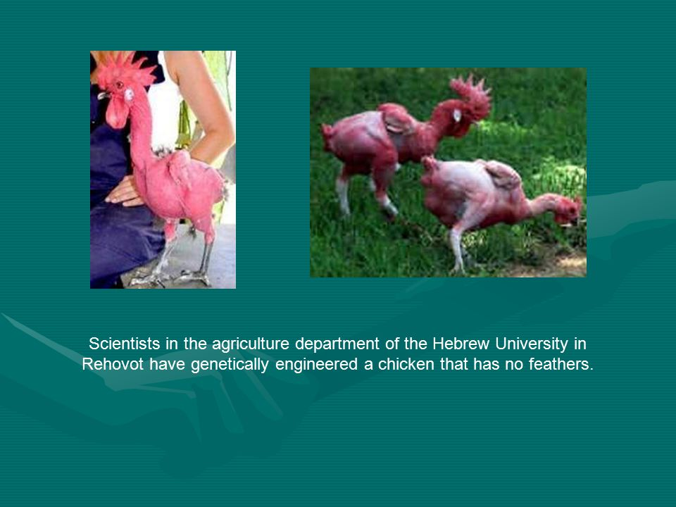 Scientists in the agriculture department of the Hebrew University in Rehovot have genetically engineered a chicken that has no feathers.