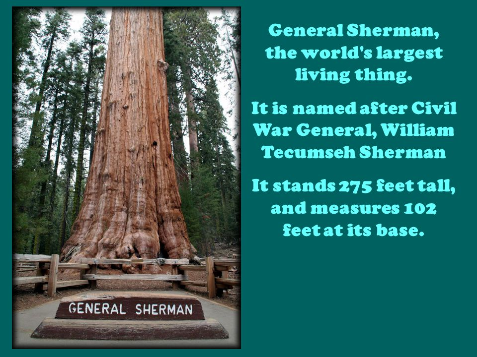 General Sherman, the world s largest living thing.