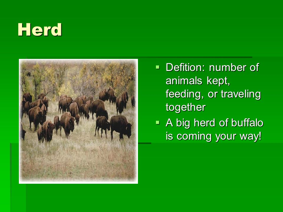Herd  Defition: number of animals kept, feeding, or traveling together  A big herd of buffalo is coming your way!