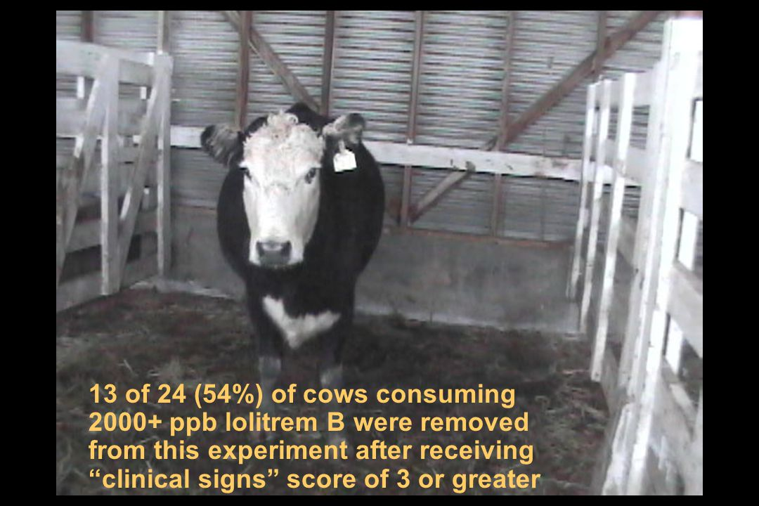 13 of 24 (54%) of cows consuming 2000+ ppb lolitrem B were removed from this experiment after receiving clinical signs score of 3 or greater