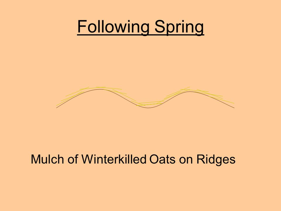 Following Spring Mulch of Winterkilled Oats on Ridges