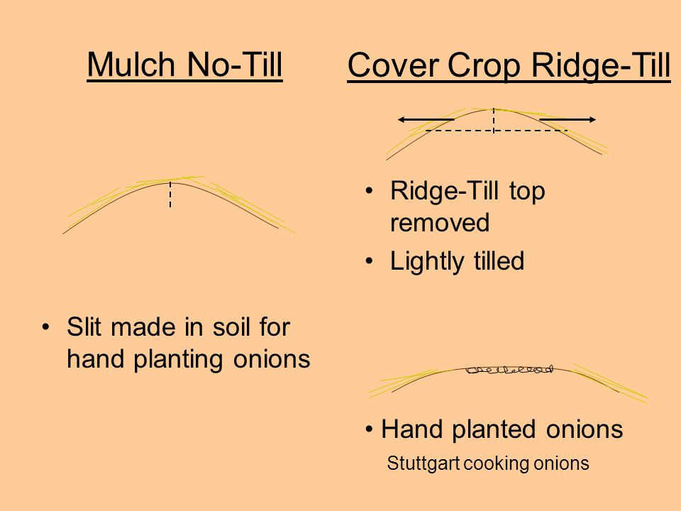Mulch No-Till Slit made in soil for hand planting onions Ridge-Till top removed Lightly tilled Cover Crop Ridge-Till Hand planted onions Stuttgart cooking onions