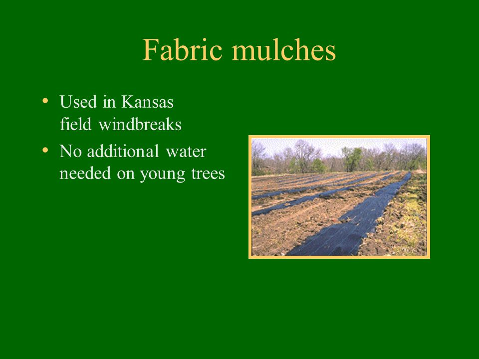 Fabric mulches Used in Kansas field windbreaks No additional water needed on young trees