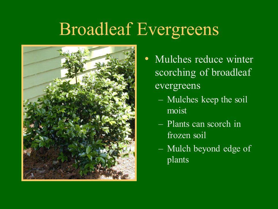 Broadleaf Evergreens Mulches reduce winter scorching of broadleaf evergreens –Mulches keep the soil moist –Plants can scorch in frozen soil –Mulch bey