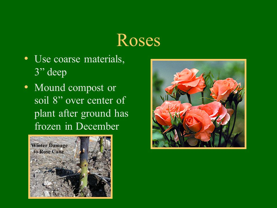 """Roses Use coarse materials, 3"""" deep Mound compost or soil 8"""" over center of plant after ground has frozen in December"""