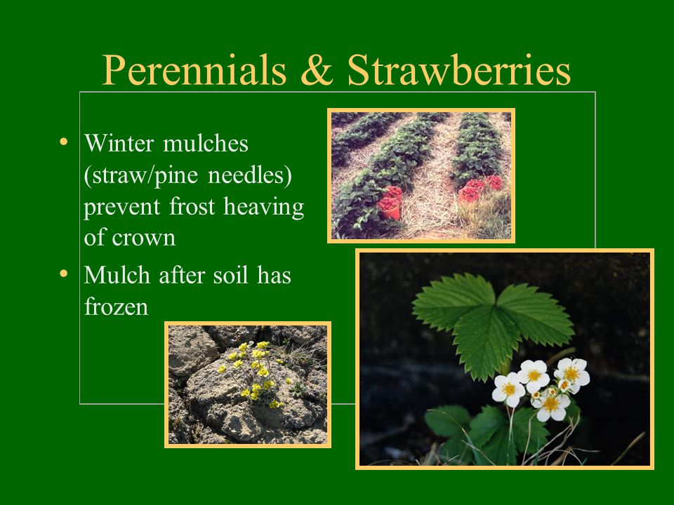 Perennials & Strawberries Winter mulches (straw/pine needles) prevent frost heaving of crown Mulch after soil has frozen