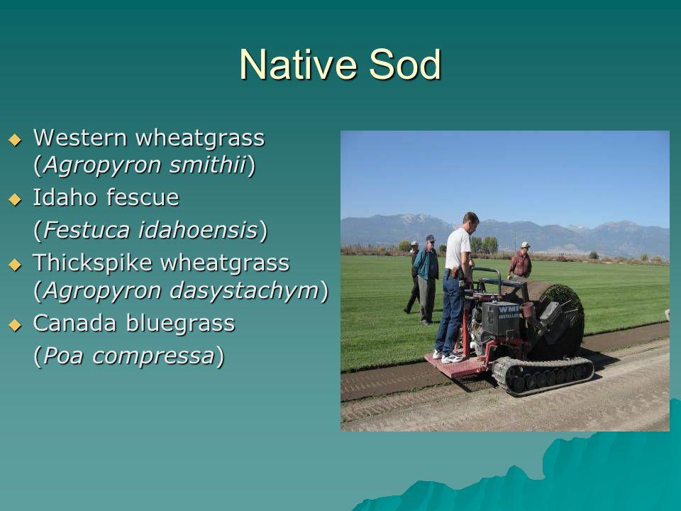 Native Sod  Western wheatgrass (Agropyron smithii)  Idaho fescue (Festuca idahoensis)  Thickspike wheatgrass (Agropyron dasystachym)  Canada bluegrass (Poa compressa)