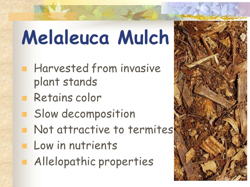 Melaleuca Mulch Harvested from invasive plant stands Retains color Slow decomposition Not attractive to termites Low in nutrients Allelopathic properties