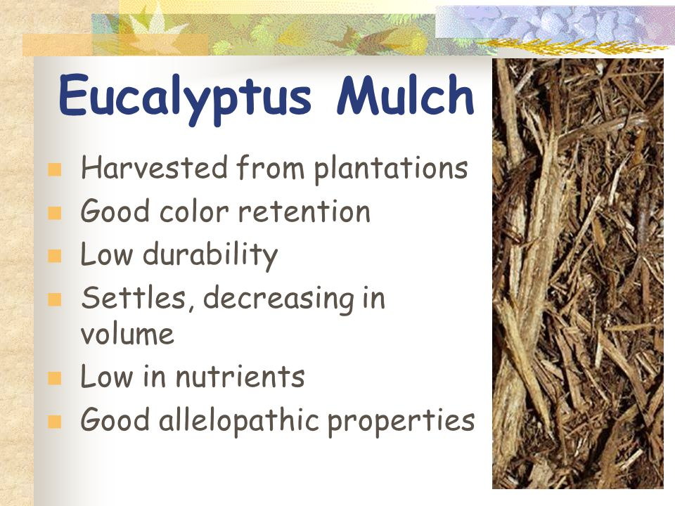 Eucalyptus Mulch Harvested from plantations Good color retention Low durability Settles, decreasing in volume Low in nutrients Good allelopathic properties