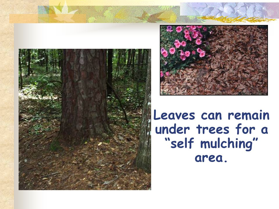 Leaves can remain under trees for a self mulching area.