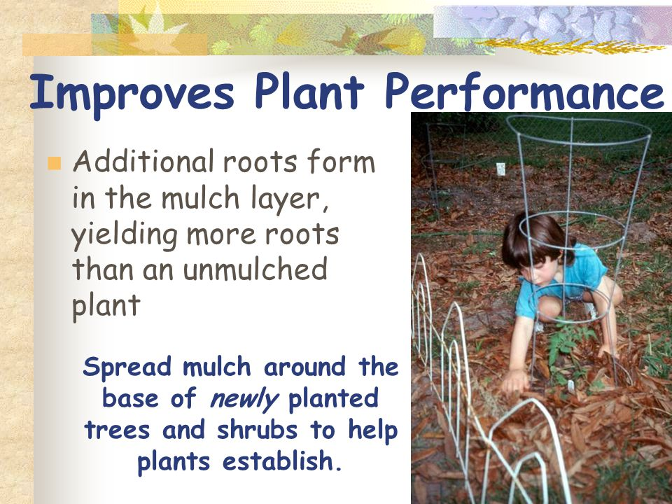 Improves Plant Performance Additional roots form in the mulch layer, yielding more roots than an unmulched plant Spread mulch around the base of newly planted trees and shrubs to help plants establish.
