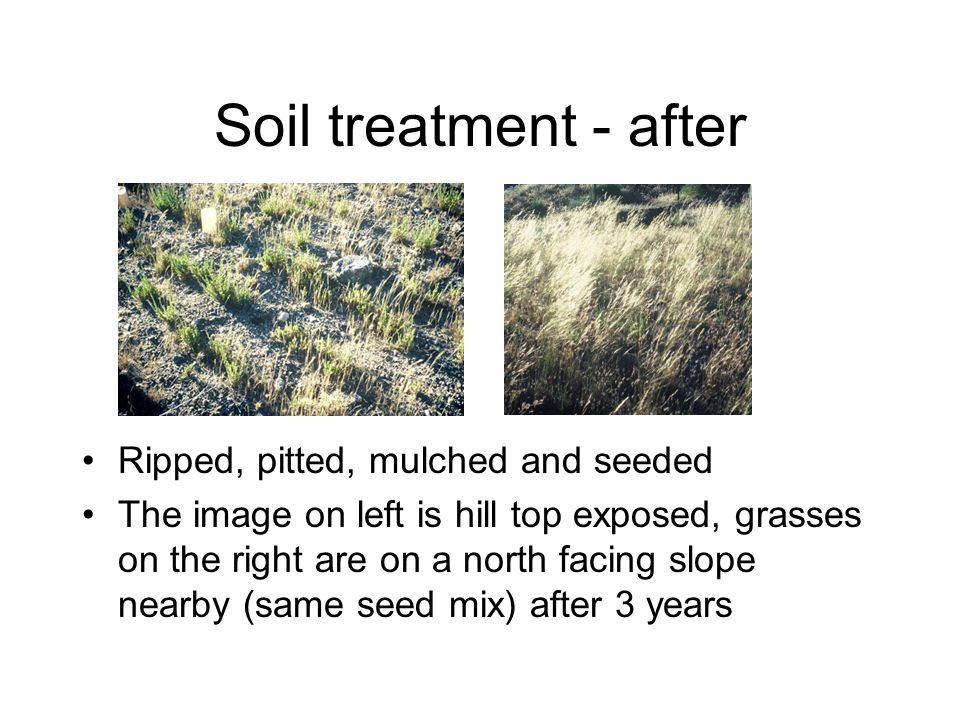 Soil treatment - after Ripped, pitted, mulched and seeded The image on left is hill top exposed, grasses on the right are on a north facing slope nearby (same seed mix) after 3 years