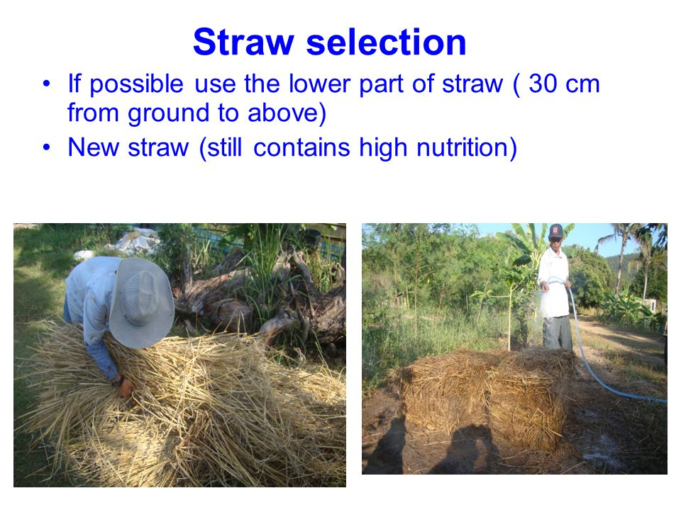 Straw selection If possible use the lower part of straw ( 30 cm from ground to above) New straw (still contains high nutrition)