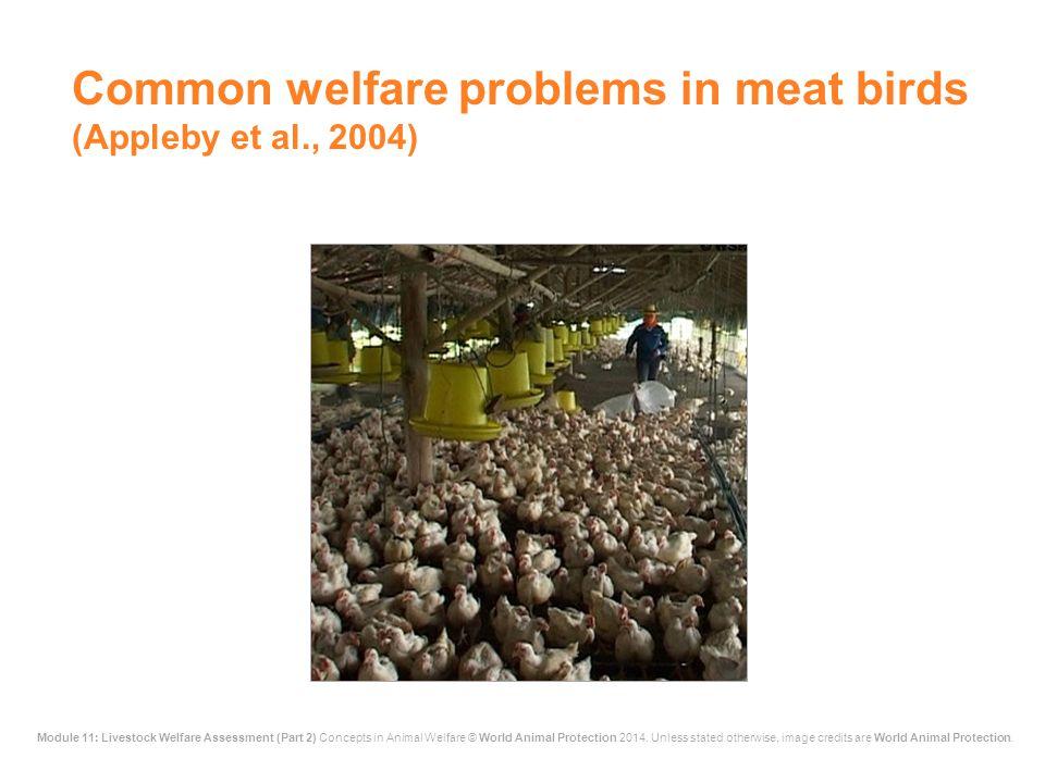 Common welfare problems in meat birds (Appleby et al., 2004)
