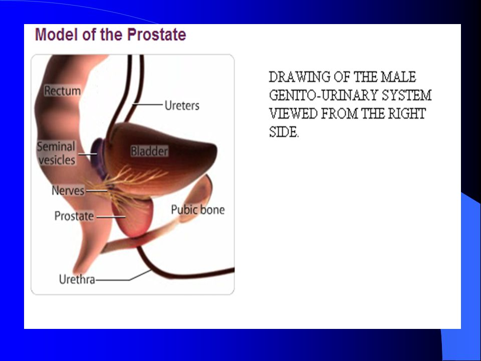 Testicle Bladder Vas deferens Seminal Vesicle Ureter Prostate Front View of the male genito-urinary system.