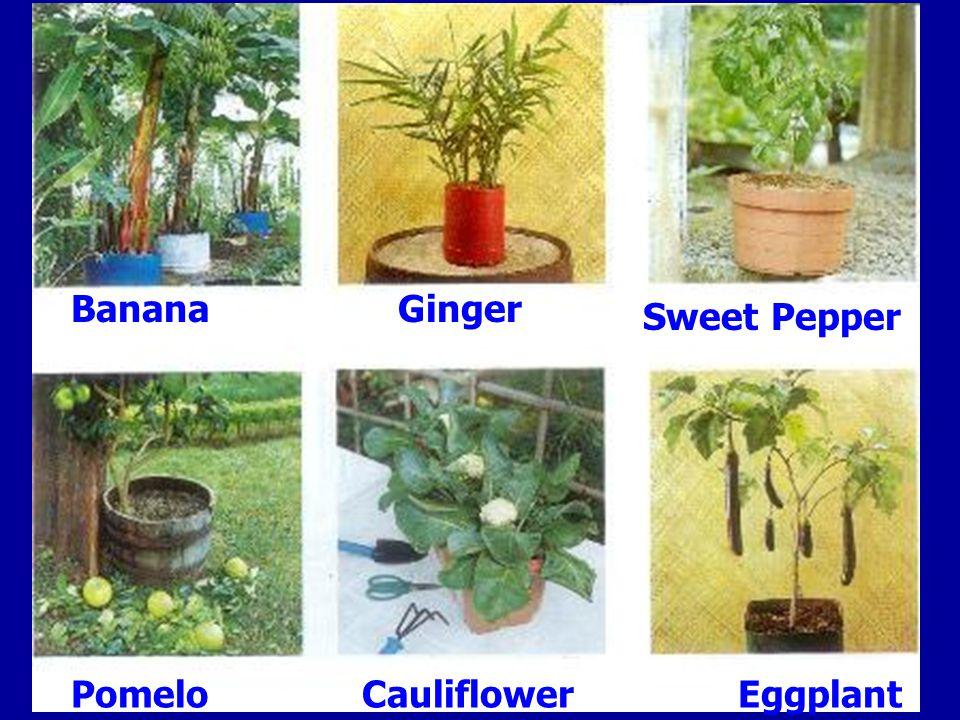 BananaGinger Sweet Pepper PomeloCauliflowerEggplant