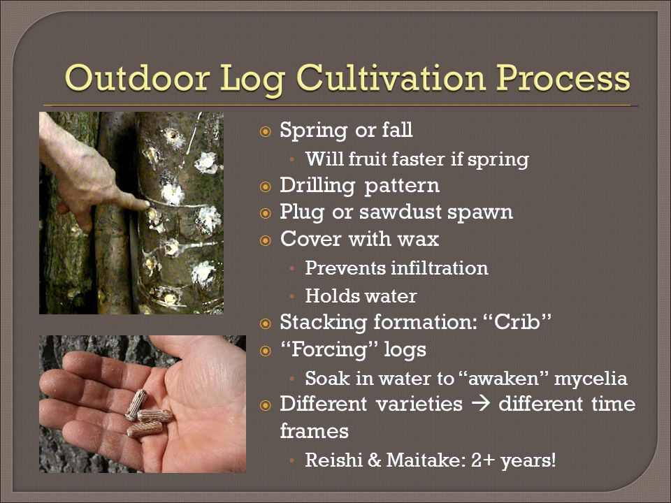  Spring or fall Will fruit faster if spring  Drilling pattern  Plug or sawdust spawn  Cover with wax Prevents infiltration Holds water  Stacking formation: Crib  Forcing logs Soak in water to awaken mycelia  Different varieties  different time frames Reishi & Maitake: 2+ years!