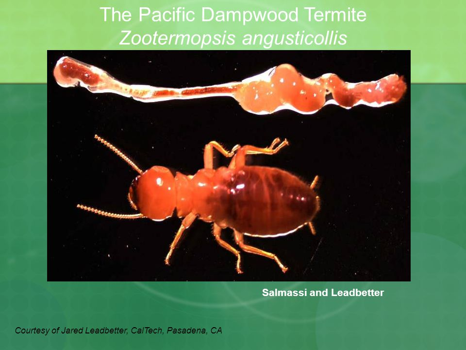 Salmassi and Leadbetter The Pacific Dampwood Termite Zootermopsis angusticollis Courtesy of Jared Leadbetter, CalTech, Pasadena, CA