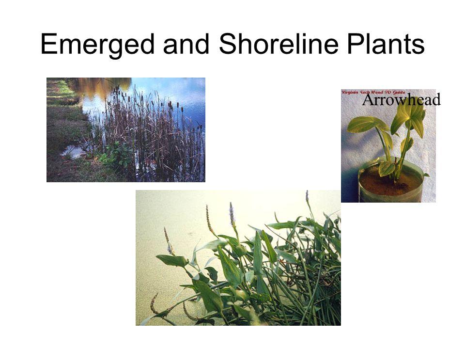 Emerged and Shoreline Plants Cattail Arrowhead
