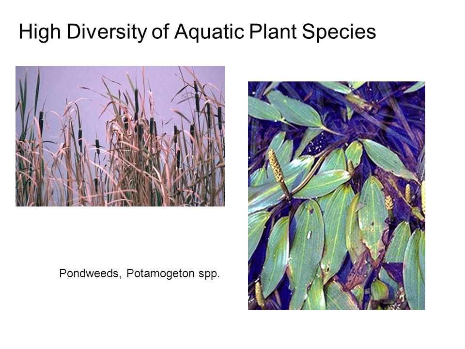 High Diversity of Aquatic Plant Species Pondweeds, Potamogeton spp.