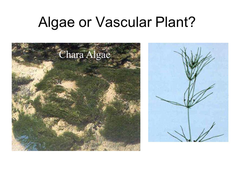 Algae or Vascular Plant? Chara Algae