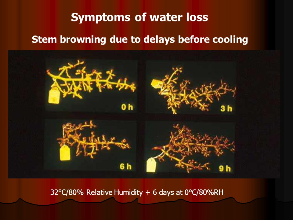 Stem browning due to delays before cooling 32°C/80% Relative Humidity + 6 days at 0°C/80%RH Symptoms of water loss